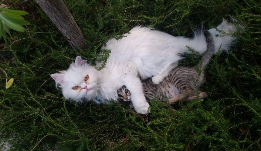Secuestro corneal en gatos