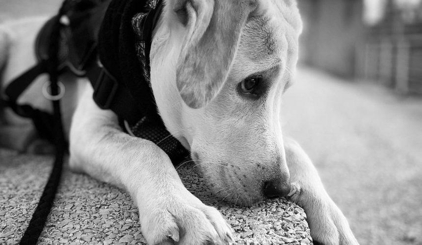 Arritmias en un labrador: el caso de Kin