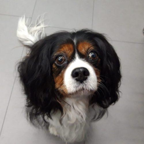 Pucky: un perro con una enfermedad de la válvula mitral