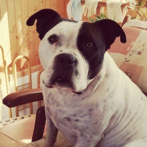Aigor, un mestizo canino diagnosticado de efusión pleural